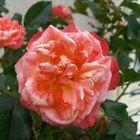 Remedios caseros para matar enfermedades e insectos de los rosales