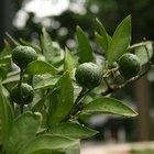 Cuidado de los árboles de limón mexicano