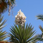 How to take cuttings from a yucca plant