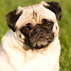 Excessive Coughing in Pugs