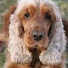 Ear Ablation in a Cocker Spaniel