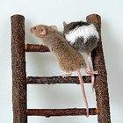 Remedio casero para matar ratones