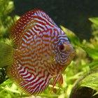 How Can I Make My Cichlids Mate?