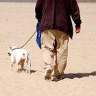 English Bulldog Ear Cleaning