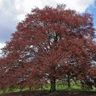 Copper Beech Tree Diseases