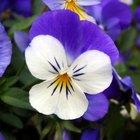Can Viola Plants Be Split?
