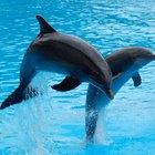 Los delfines migran o hibernan