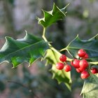 Types of evergreen trees with red berries