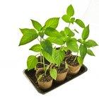 Como esterilizar um substrato para o plantio de sementes
