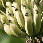 ¿Cuál es la mejor manera de cuidar una planta de plátano?