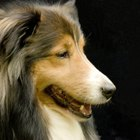 How to Trim & Groom a Sheltie