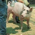 Como estimar o peso de um porco