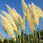 How to grow pampas grass in containers