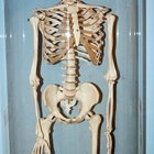How to make a 3D paper skeleton