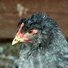 Riesgos para la salud del estiércol de pollo