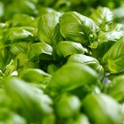 List of plants in the mint family