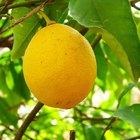 Cómo fertilizar los árboles de cítricos