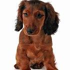 ¿Cuánto debe pesar un perro salchicha de cinco meses?
