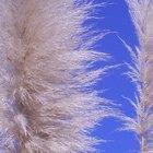 When to Prune Pampas Grass