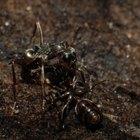 ¿Qué tipo de hormigas tienen alas?