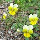 Bugs That Eat Viola Plant Blooms