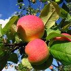 Cuánto tiempo tarda el manzano en dar manzanas