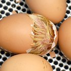 How to Keep a Goose Egg Warm Without an Incubator