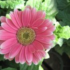 How to Get Gerbera Daisy Seeds From the Flower