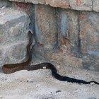 ¿Qué tipo de serpiente tiene un anillo amarillo alrededor de su cuello?