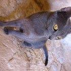 Itraconazol no tratamento das micoses em gatos