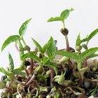 Cómo cultivar una semilla de frijol en algodón y agua
