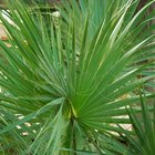 Consejos para las hojas marchitas de las palmeras de interior
