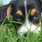 Cachorros hembras y el desarrollo del pezón