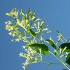 Cómo secar flores de jazmín
