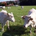 Información sobre ganado Charolais