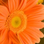 The Meaning of an Orange Gerbera Daisy