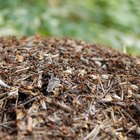 How to Kill Ant Nests