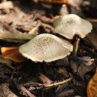 Qual é a diferença entre plantas, fungos e animais?