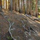 Cómo cortar las raíces de los pinos que sobresalen del suelo