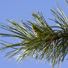 Facts About the Scots Pine Tree