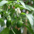 The life cycle of the pepper plant