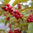 What Male Holly Should I Plant With Ilex Winterberry?