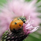 What Smells are Ladybugs Attracted to?