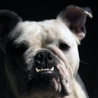 English Bulldogs and Irritated Skin