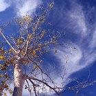 Cómo cuidar  árboles de pecan