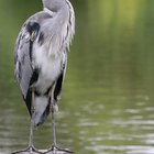 How to control herons near fish ponds