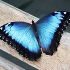 Blue Butterfly Information