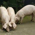 O que é um porco marrã?