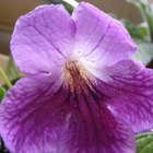 How to Revive a Wilted Streptocarpus