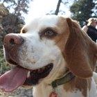 ¿Cuánto dura el parto de una perra beagle?